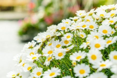 Daisy white flower bouquet garden shop