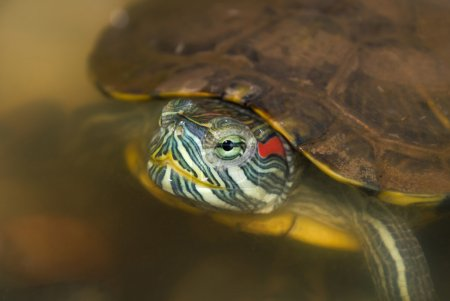 Closeup of red eared slider in the wild...