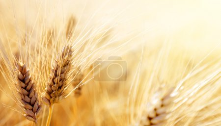 Photo for Wheat field - Royalty Free Image