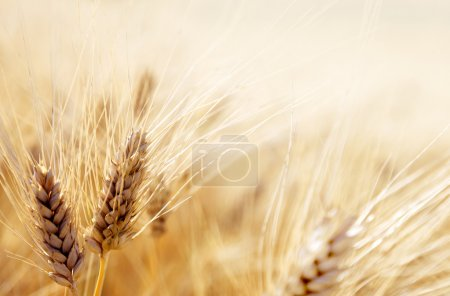 Photo pour Champ de blé - image libre de droit