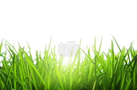 Photo for Green grass isolated on white - Royalty Free Image