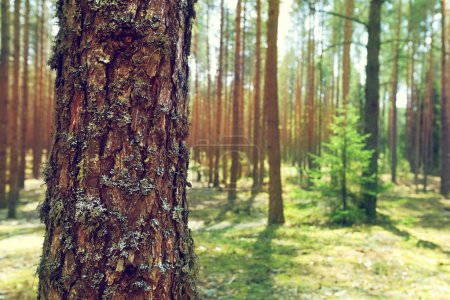 trunk of pine in summer forest