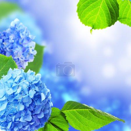 Foto de Flores de Hortensia hermoso sobre un fondo azul. - Imagen libre de derechos