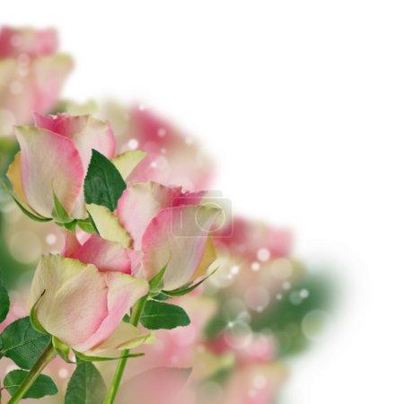 Pink rose with bokeh