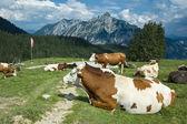 Resting Cows in Austria