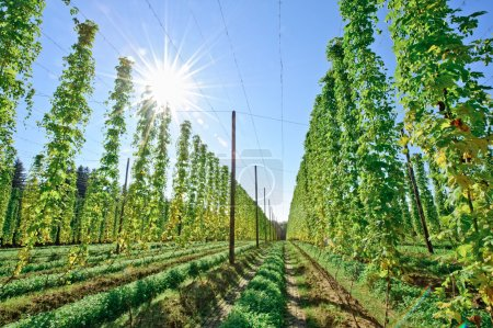 Sunshine in the Hop Field
