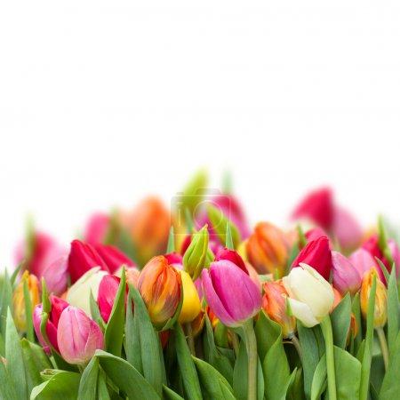 Photo pour Tulipes de printemps frais grandissant isolés sur fond blanc - image libre de droit