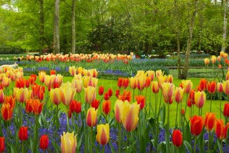 Spring flowers in Keukenhof garden