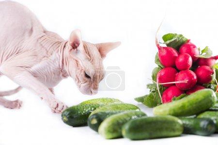 cat sphinx eating fresh cucumber