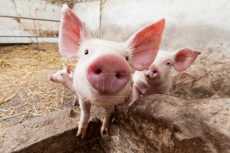 Photo for Young pigs on the farm - Royalty Free Image