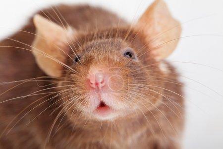 Photo pour Photo de souris brune, sur fond blanc - image libre de droit