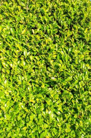 Green Laurel Bush Hedge, portrait