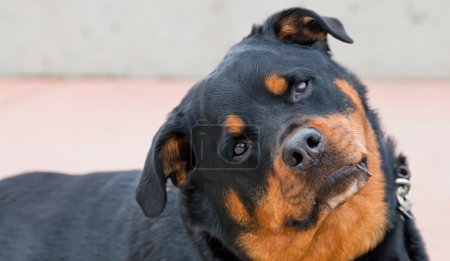A black and brown female Rottweiler cocks her head...