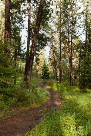 Foto de Una tierra caminando vientos camino a través de los pinos y matorrales en un bosque con largas sombras por la puesta de sol. - Imagen libre de derechos