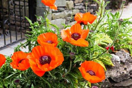 Giant Poppy Flowers