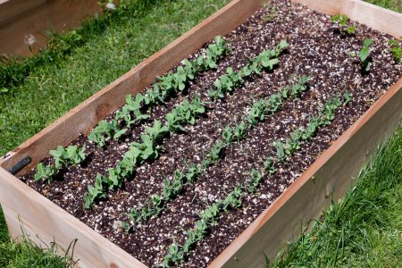 Photo for A wooden raised garden bed with rows of pea plants growing in the soil. - Royalty Free Image