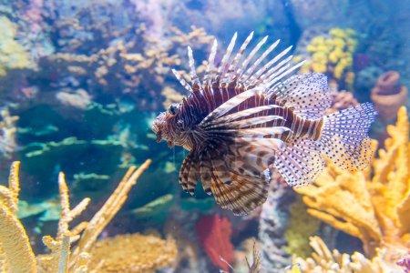 Photo pour Pterois, communément appelé poisson lion, est un genre de poissons de mer venimeux trouvés principalement dans l'indo-pacifique. Pterois est caractérisée par la coloration d'avertissement bien visible avec rouge, blanc, crémeux ou des bandes noires, ses nageoires pectorales voyantes et nageoire piquants venimeux r - image libre de droit