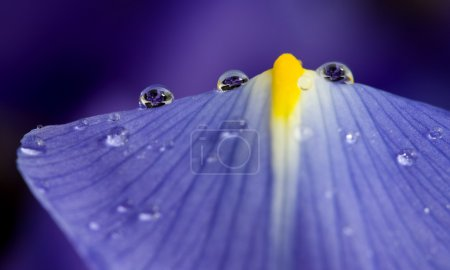 Close Up Iris