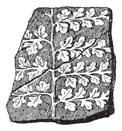 Sphenopteris, a seed fern, vintage engraving.