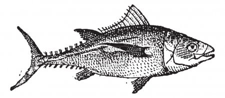 Tuna, vintage engraving.