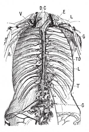 Lymphatic System, vintage engraving