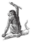 Macaque or Macaca sp vintage engraved illustration Dictionary of Words and Things - Larive and Fleury - 1895