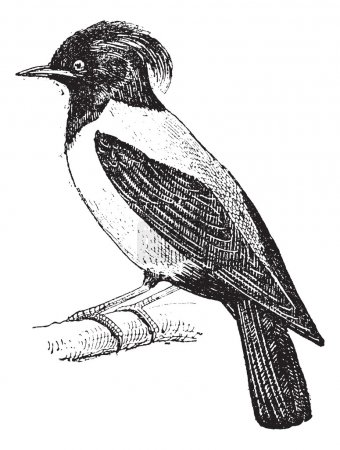 Illustration for Purple Martin or Progne subis, Perched on a Branch, vintage engraved illustration. Dictionary of Words and Things - Larive and Fleury - 1895 - Royalty Free Image