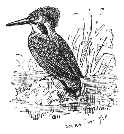 Common Kingfisher or Alcedo atthis, vintage engraving