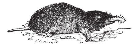 Common Mole or Eastern Mole or Scalopus aquaticus, vintage engra