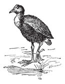Moorhen or Gallinula sp vintage engraved illustration Dictionary of Words and Things - Larive and Fleury - 1895