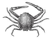 Leucosiid Crab or Leucosiidae vintage engraved illustration Dictionary of Words and Things - Larive and Fleury - 1895