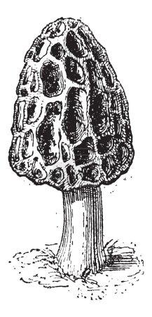 Morel or Morchella sp., vintage engraved illustrat...