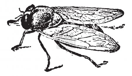 Illustration pour Mouche des fruits commune ou drosophila melanogaster, vintage gravée illustration. Dictionnaire des mots et les choses - larive et fleury - 1895 - image libre de droit