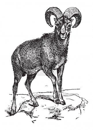 European Mouflon or Ovis orientalis musimon, vinta...