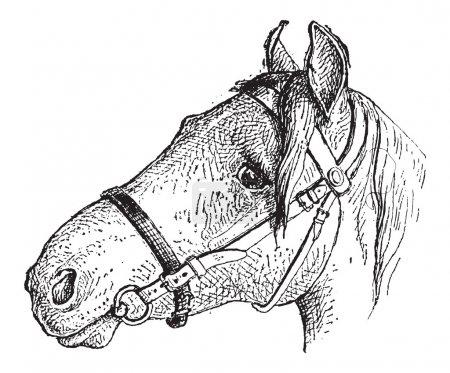 Noseband, vintage engraving