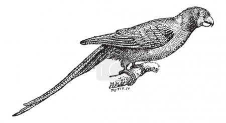 Narcissus Flycatcher or Ficedula narcissina, vintage engraving