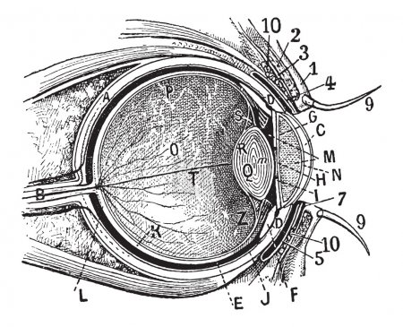 Illustration for Internal Parts of the Human Eye, cross-section showing the cornea, iris, lens, and retina, vintage engraved illustration. Dictionary of Words and Things - Larive and Fleury - 1895 - Royalty Free Image