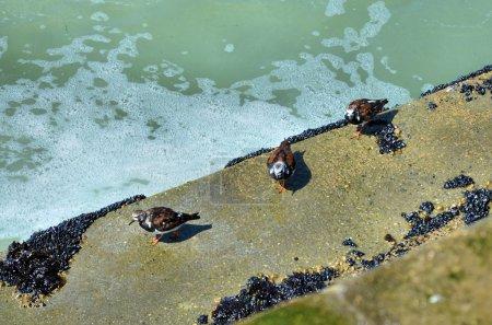 Photo pour Tourterelle marine européenne repose sur le brise-lames - image libre de droit