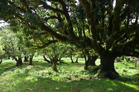 Til trees of 500 hundred years old, Madeira