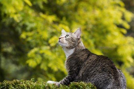 Hunting Grey Tabby Cat