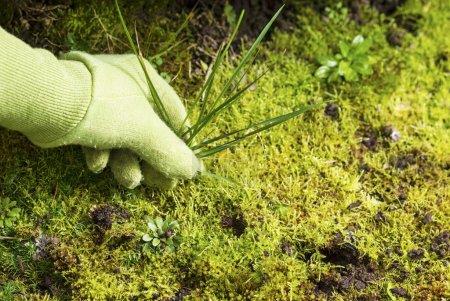 Removing Grass Weed Moss Garden