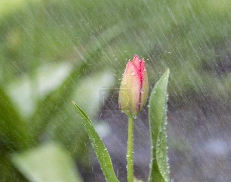 Одинокий цветок в весеннем рейне