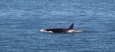 Young Mature Orca Whale Swimming in the Ocean
