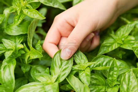 Photo for Horizontal view of female hand holding fresh large leaf basil with herb garden in background - Royalty Free Image