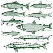 Fish freshwater vector 2