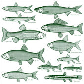 Types freshwater fish Silhouettes of fish Isolated-background objects Vector illustration
