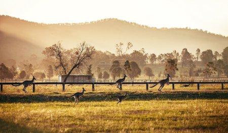 Groupe de kangourous australiens