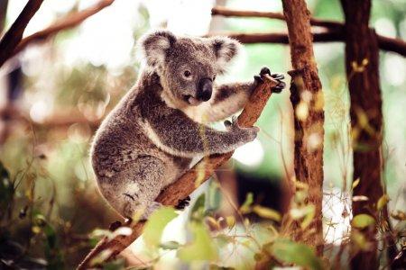 Koala Bear on the tree
