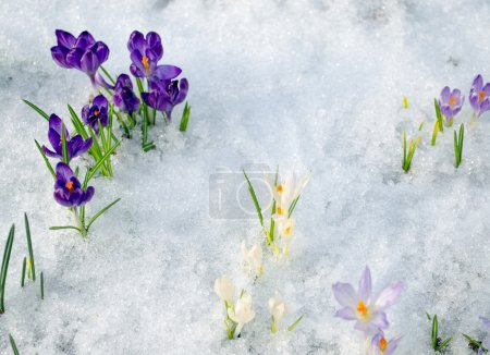 various saffron crocus flower blooms snow spring