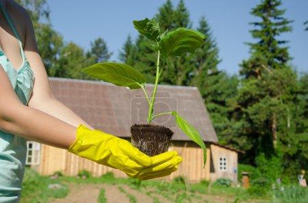 Green leaves eggplant seedling on woman hands